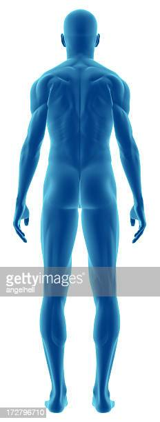 3D cartoon of human body from behind
