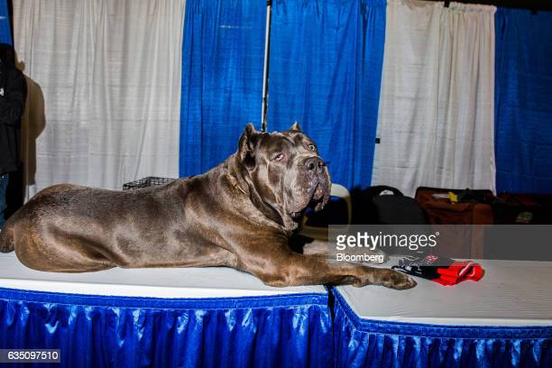 A Case Corso dog sits during the annual Meet the Breed event ahead of the 141st Westminster Kennel Club Dog Show in New York US on Saturday Feb 11...