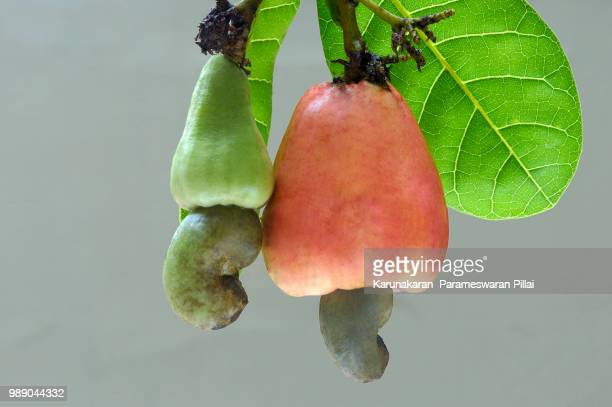 cashew apple and nuts matured and unmatured - cashew stock pictures, royalty-free photos & images