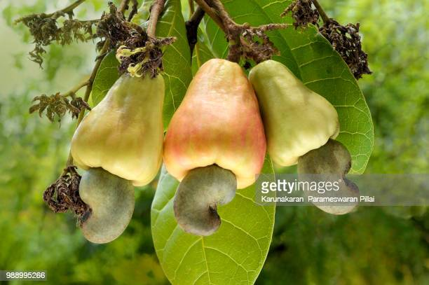 cashew apple and nuts_p.karunakaran - cashew stock pictures, royalty-free photos & images