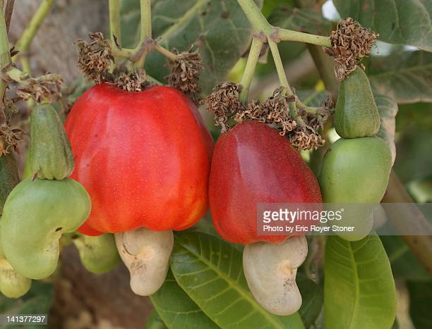 cashew apple - cashew stock pictures, royalty-free photos & images