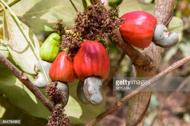 Cashew apples are pictured on cashew tress before harvesting on May 10 2017 in an orchard near Bissau Producers of cashew nuts in GuineaBissau enjoy...