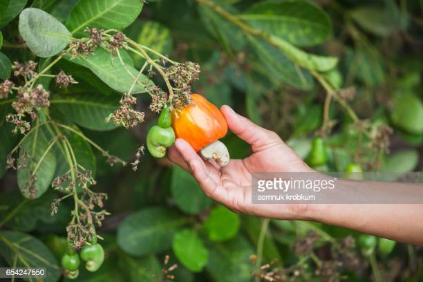 cashew nut fruit - cashew stock pictures, royalty-free photos & images