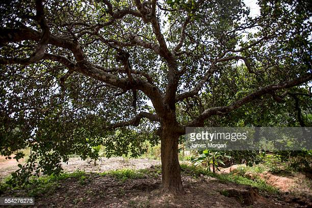 cashew tree - cashew stock pictures, royalty-free photos & images