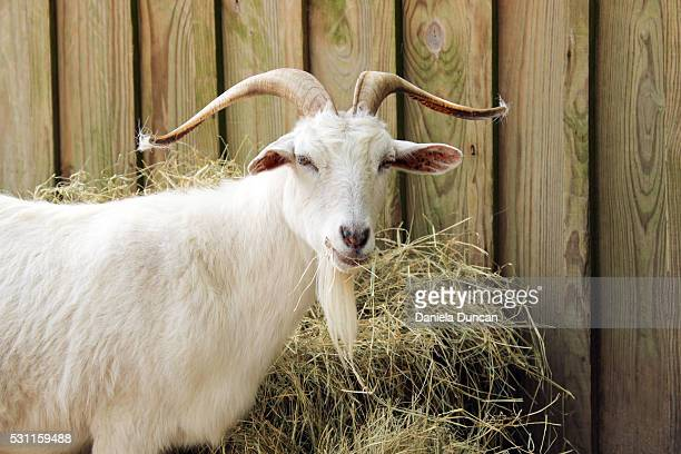 Cashmere goat by his food