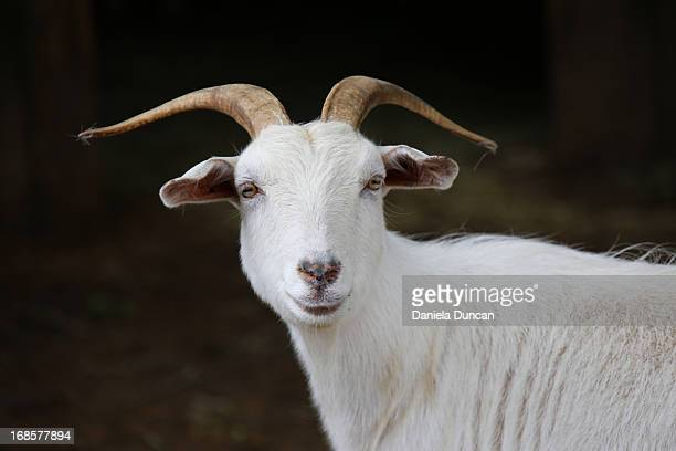 cashmere goat portrait - goats stock pictures, royalty-free photos & images