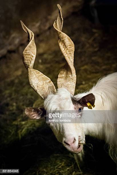 Cashmere goat with twisted horns