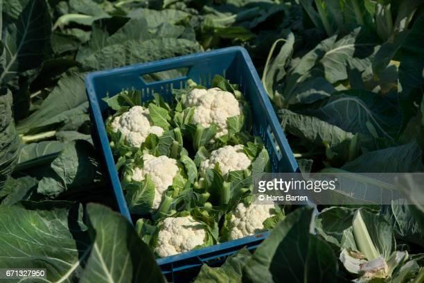 Casket with fresh cauliflowers