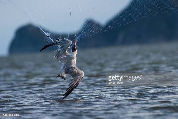 Caspian Tern get hurt in a trap from the thrown fishing net