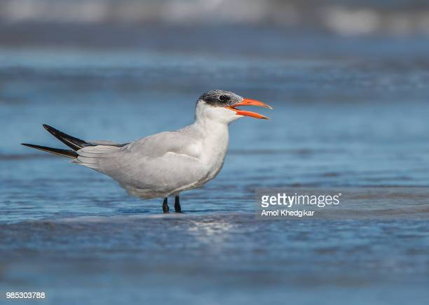 caspian tern - royal tern stock photos and pictures