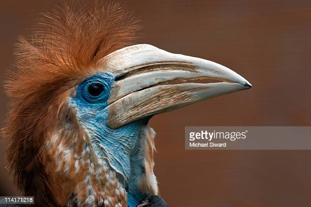casqued hornbill - michael siward stock pictures, royalty-free photos & images