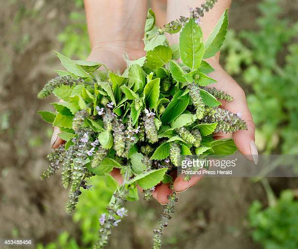 Cassandra Sears holds the herb tulsi or sacred basil in her herb garden at Winslow Farm in West Falmouth on July 30 2014 Sears runs a monthly herb...