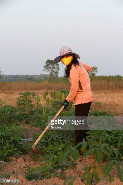 Cassava field Vietnamese woman digging soil with the hoe Thay Ninh Vietnam