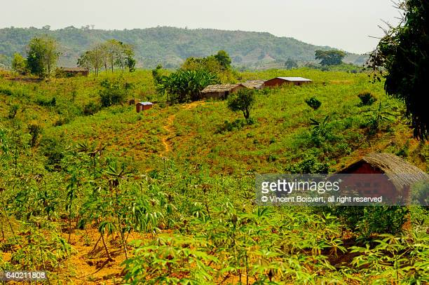 cassava (manioc) plantation in nkhata bay area, malawi - malawi stock pictures, royalty-free photos & images