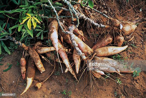 Cassava Stock Pictures, Royalty-free Photos & Images