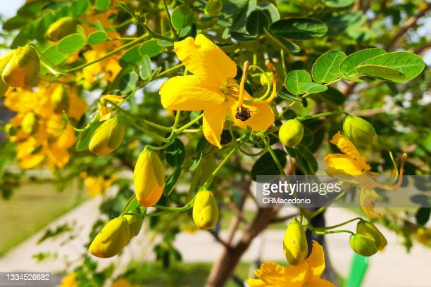 cassia abbreviata flower - crmacedonio stock pictures, royalty-free photos & images