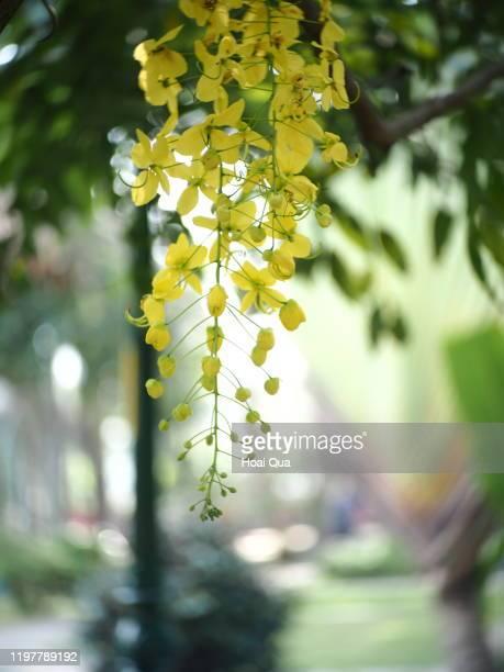 cassia fistula flowers - fistel bildbanksfoton och bilder