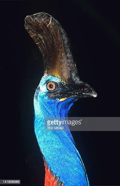 Cassowary ( Casuarius casuarius ) A rare large flightless bird found in the tropical rainforest on northeast Australia.