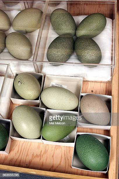 Cassowary eggs from New Zealand are part of the world's largest collection of bird eggs located at the Western Foundation of Vertebrate Zoology in...