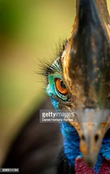 Cassowary eye close up. Casuarius casuarius