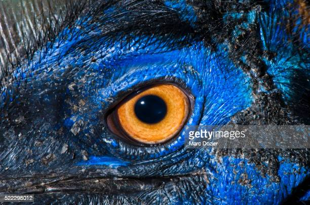 Cassowary eye