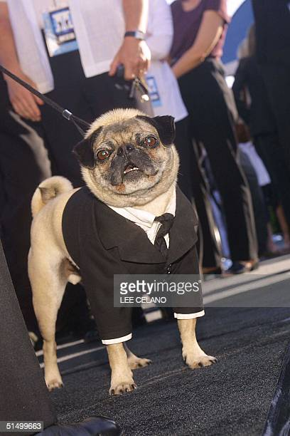 Cast member Frank the Pug arrives for the premiere of Men in Black II June 26 2002 in the Westwood area of Los Angeles AFP PHOTO/LEE CELANO
