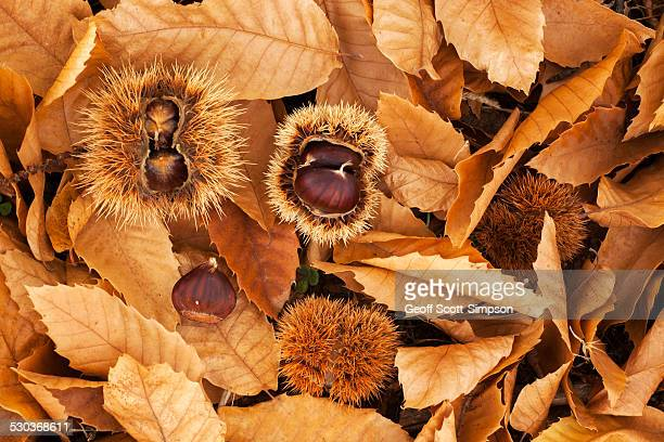 Castanea nuts (Sweet Chestnuts) and leaf litter