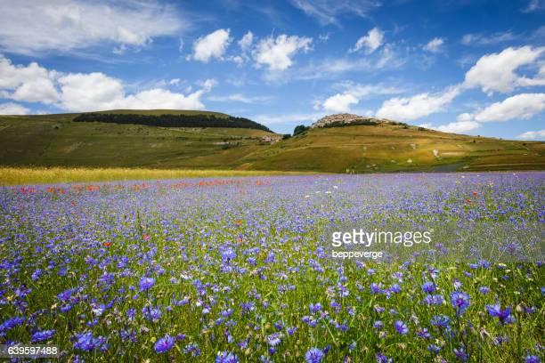 Castelluccio di Norcia flowering