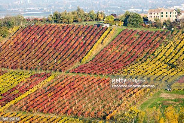 castelvetro, modena. autumn vineyards - emilia romagna stock pictures, royalty-free photos & images