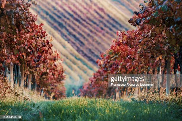 Castelvetro, Modena. Vineyards in autumn