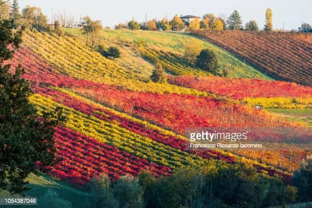 castelvetro, modena. vineyards in autumn - iacomino italy foto e immagini stock