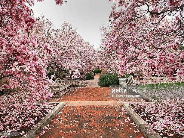 castle magnolias - magnolia stock photos and pictures