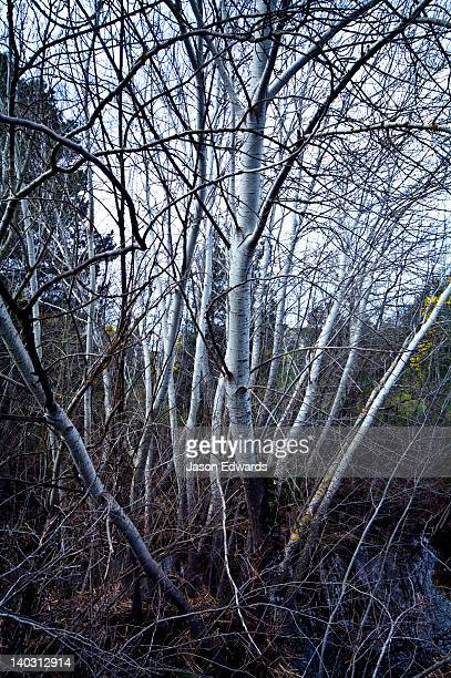 A deciduous stand of Silver Poplar in a deep winter gully by a river.