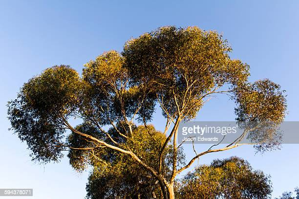 sunset illuminates the branches and canopy leaves of a spotted gum. - eucalyptus tree stock pictures, royalty-free photos & images