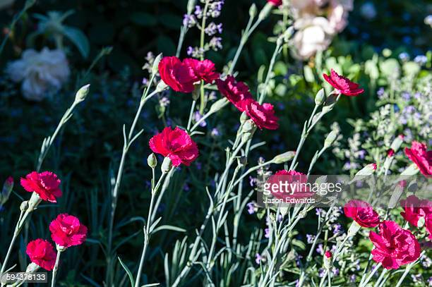 Burgundy Dianthus flowers reach toward the sun in a cottage garden.