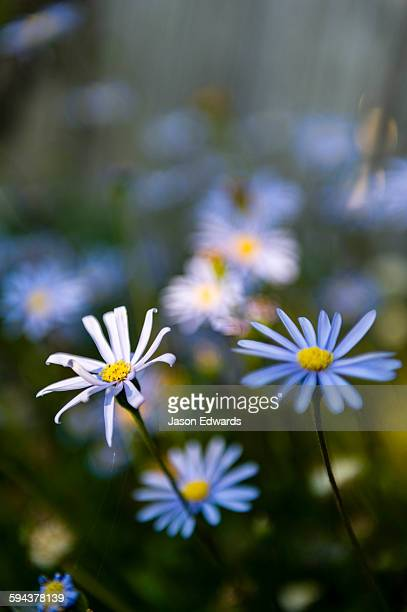 The delicate petals of a field of blue daisys catching the afternoon sun in a cottage garden.