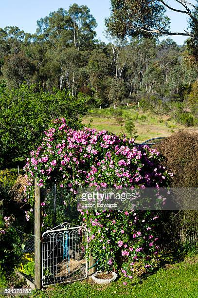 A Rosa climbing Pinkie Rose hanging over a country gate to a vegetable garden.