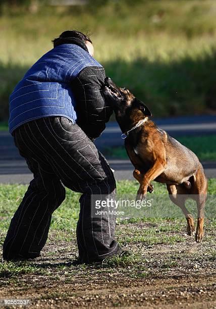 Castor, a Belgian malinois police dog, attacks U.S. Navy MA-2 Autumn Norunnerherron while training October 29, 2009 at the U.S. Naval Base at...