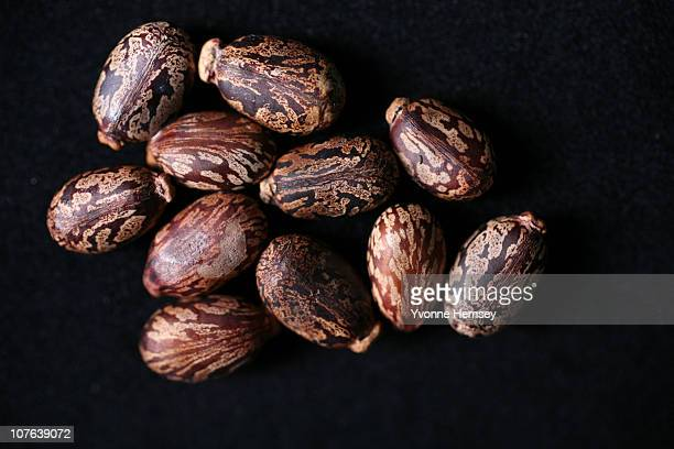 Castor beans are photographed December 16 2010 in New York City The beans also known by its scientific name of Ricinus communis are the main...