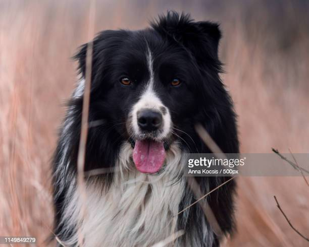 castor, the border collie - collie stock pictures, royalty-free photos & images