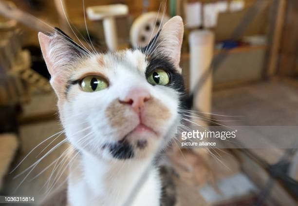 A castrated cat looks into the camera at a barn of the organisation 'Living Responsibility' in Hosenfeld Germany 20 July 2013 The nonprofit...
