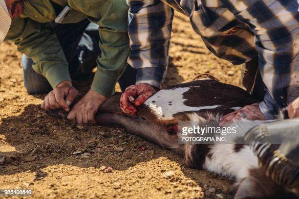 castrating cattle in utah - castration stock pictures, royalty-free photos & images