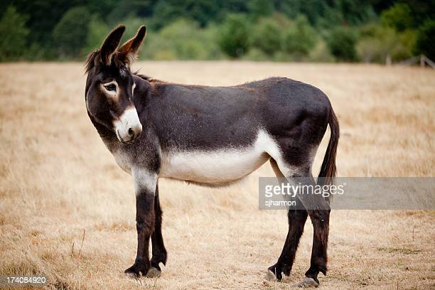 Casual Mule Donkey Standing in a Meadow or Pasture Outdoors