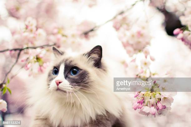 Cat and Cherry Blossom