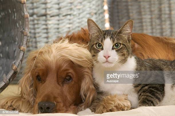 Cat and Cocker spaniel Canis familiaris at rest together