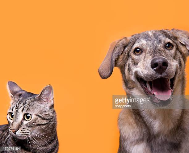 cat and dog buddies with orange background - dog and cat stock photos and pictures