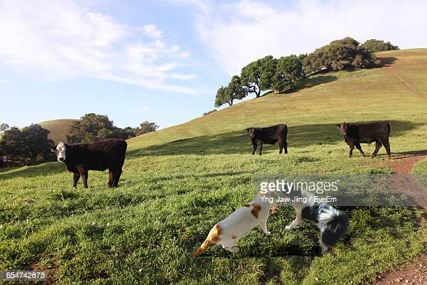 Cat And Dog Fighting On Field With Cows In Background