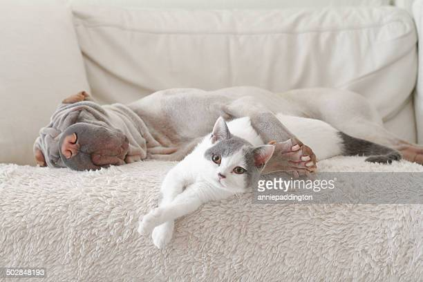 cat and dog hugging on sofa - cat and dog stock pictures, royalty-free photos & images