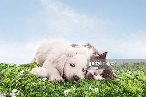 cat and dog on grass - dog and cat stock photos and pictures