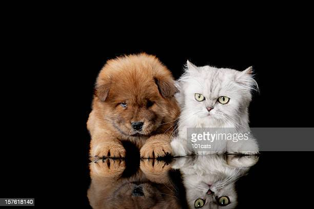 cat and dog - chow dog stock pictures, royalty-free photos & images